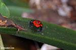 Strawberry dart frog [costa_rica_siquirres_0751]