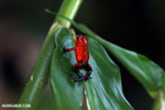 Strawberry dart frog [costa_rica_siquirres_0755]