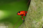 Strawberry dart frog [costa_rica_siquirres_0765]