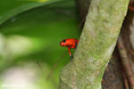 Strawberry dart frog [costa_rica_siquirres_0766]