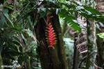Heliconia collinsiana