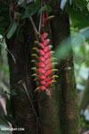 Heliconia collinsiana [costa_rica_siquirres_0774]