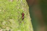 Bug [costa_rica_siquirres_0778]