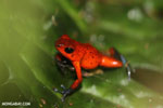 Strawberry dart frog [costa_rica_siquirres_0781]