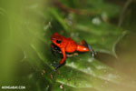 Strawberry dart frog [costa_rica_siquirres_0784]