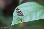 Transparent-winged butterfly [costa_rica_siquirres_0789]