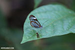Transparent-winged butterfly (Greta oto) [costa_rica_siquirres_0791]