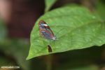 Transparent-winged butterfly (Greta oto) [costa_rica_siquirres_0794]