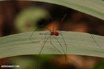 Harvestman [costa_rica_siquirres_0799]