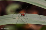 Harvestman [costa_rica_siquirres_0801]