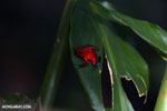 Strawberry dart frog [costa_rica_siquirres_0814]