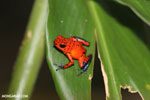 Strawberry dart frog [costa_rica_siquirres_0816]