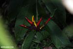 Heliconia collinsiana [costa_rica_siquirres_0817]