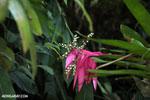 Plant [costa_rica_siquirres_0819]