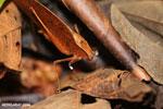 Katydid [costa_rica_siquirres_0825]