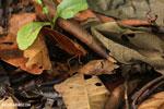 Katydid [costa_rica_siquirres_0826]