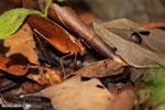 Katydid [costa_rica_siquirres_0827]