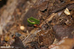 Leaf-cutter ants [costa_rica_siquirres_0836]
