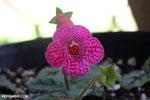 Carnivorous plants [costa_rica_siquirres_0839]