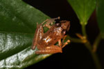 Frog [costa_rica_siquirres_0883]