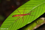Stick insect [costa_rica_siquirres_0886]