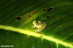 Glass frog [costa_rica_siquirres_0896]