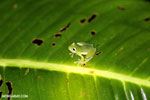 Glass frog [costa_rica_siquirres_0899]