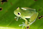 Glass frog [costa_rica_siquirres_0900]