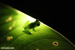 Glass frog [costa_rica_siquirres_0907]