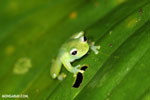 Glass frog [costa_rica_siquirres_0912]