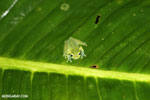 Glass frog [costa_rica_siquirres_0915]