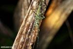 Katydid [costa_rica_siquirres_0926]