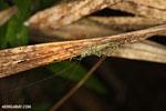 Katydid [costa_rica_siquirres_0928]