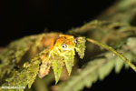 Tree frog [costa_rica_siquirres_0935]