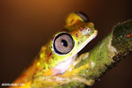Tree frog [costa_rica_siquirres_0936]