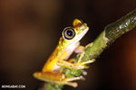 Tree frog [costa_rica_siquirres_0939]