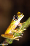 Tree frog [costa_rica_siquirres_0940]
