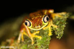 Tree frog [costa_rica_siquirres_0943]