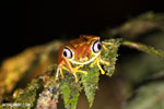 Tree frog [costa_rica_siquirres_0945]