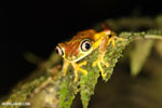 Tree frog [costa_rica_siquirres_0947]