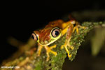 Tree frog [costa_rica_siquirres_0948]