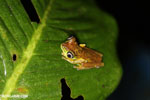 Tree frog [costa_rica_siquirres_0952]