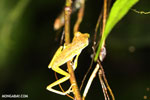 Tree frog [costa_rica_siquirres_0957]