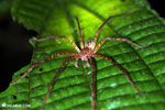 Spider [costa_rica_siquirres_0976]
