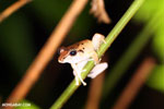 Frog [costa_rica_siquirres_0997]