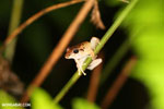 Frog [costa_rica_siquirres_0998]