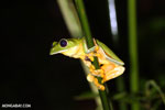 Gliding Tree Frog [costa_rica_siquirres_0999]