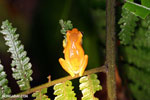 Tree frog [costa_rica_siquirres_1006]