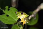 Spurrell's Leaf Frog (Agalychnis spurrelli) [costa_rica_siquirres_1010]