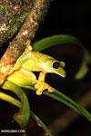 Spurrell's Leaf Frog